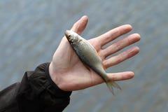 Λίγο ψάρι Στοκ Εικόνες