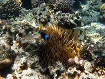 Λίγο ψάρι anemone Στοκ εικόνα με δικαίωμα ελεύθερης χρήσης