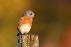 Λίγο Bluebird το φθινόπωρο Στοκ φωτογραφίες με δικαίωμα ελεύθερης χρήσης