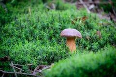 Λίγο boletus στο πράσινο βρύο στο δάσος μετά από τη βροχή Στοκ φωτογραφία με δικαίωμα ελεύθερης χρήσης