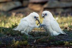 Λίγο Corella - Cacatua sanguinea δύο πουλιά - ζευγάρι - που ταΐζει με το έδαφος κοντά στη Μελβούρνη, Αυστραλία στοκ φωτογραφία με δικαίωμα ελεύθερης χρήσης