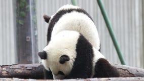 Λίγο cub panda είναι καταψύχοντας έξω, Κίνες φιλμ μικρού μήκους