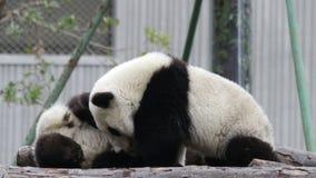 Λίγο cub panda είναι καταψύχοντας έξω, Κίνες απόθεμα βίντεο