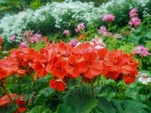Λίγο ed λουλούδι στοκ εικόνες