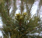 Λίγο firtree στο fairytail Στοκ Εικόνα