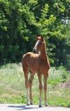Λίγο foal μόνιμο πορτρέτο Στοκ Φωτογραφίες