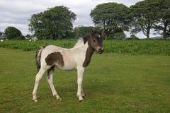 Λίγο Foal Dartmoor Στοκ φωτογραφία με δικαίωμα ελεύθερης χρήσης