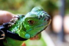 Λίγο iguana σε ένα λουρί στοκ εικόνα