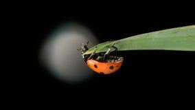 Λίγο ladybug που αναρριχείται στο μειονέκτημα μια άδεια Στοκ φωτογραφία με δικαίωμα ελεύθερης χρήσης