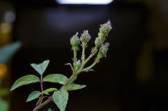Λίγο ladybug προνύμφες που καλύπτουν τους κλάδους Στοκ Εικόνα