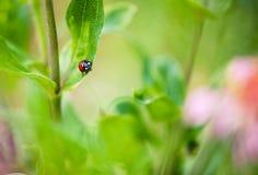 Λίγο ladybug σε έναν κλάδο Στοκ εικόνα με δικαίωμα ελεύθερης χρήσης