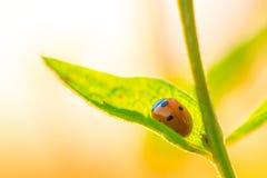 Λίγο ladybug σε ένα κομμάτι της χλόης Στοκ Εικόνες