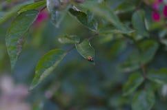 Λίγο ladybug στην άκρη ενός φύλλου Στοκ φωτογραφίες με δικαίωμα ελεύθερης χρήσης