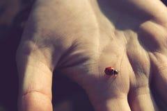 Λίγο ladybug στο ανθρώπινο χέρι στην κινηματογράφηση σε πρώτο πλάνο ηλιοβασιλέματος Στοκ Φωτογραφίες