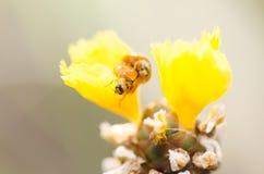 Λίγο ladybug στο κίτρινο φυτό λουλουδιών Στοκ φωτογραφίες με δικαίωμα ελεύθερης χρήσης