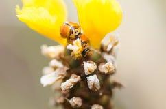 Λίγο ladybug στο κίτρινο φυτό λουλουδιών Στοκ εικόνα με δικαίωμα ελεύθερης χρήσης