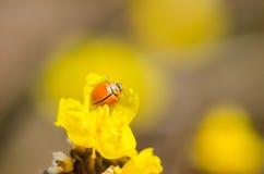 Λίγο ladybug στο κίτρινο φυτό λουλουδιών Στοκ Εικόνα