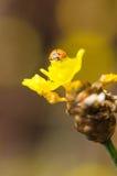 Λίγο ladybug στο κίτρινο φυτό λουλουδιών Στοκ Εικόνες