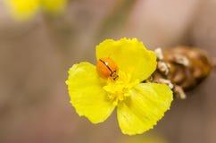 Λίγο ladybug στο κίτρινο φυτό λουλουδιών Στοκ εικόνες με δικαίωμα ελεύθερης χρήσης