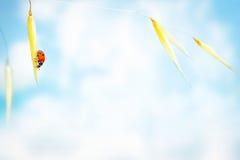 Λίγο ladybug στο σίτο Στοκ Εικόνες