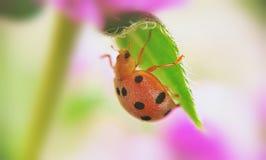 Λίγο ladybug Στοκ Φωτογραφία