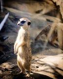 Λίγο meerkat Στοκ φωτογραφίες με δικαίωμα ελεύθερης χρήσης