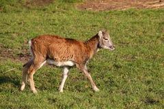 Λίγο mouflon Στοκ εικόνες με δικαίωμα ελεύθερης χρήσης