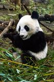 Λίγο panda, ζωολογικός κήπος της Βιέννης Στοκ Φωτογραφίες