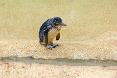 Λίγο Penguin ή μπλε penguin Στοκ Εικόνες