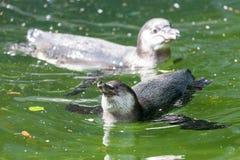 Λίγο penguin κολυμπά σε μια λίμνη Στοκ Εικόνες