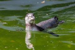 Λίγο penguin κολυμπά σε μια λίμνη Στοκ Φωτογραφίες