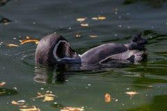 Λίγο penguin κολυμπά σε μια λίμνη Στοκ Εικόνα
