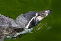 Λίγο penguin κολυμπά σε μια λίμνη Στοκ φωτογραφίες με δικαίωμα ελεύθερης χρήσης