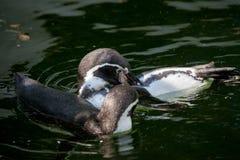 Λίγο penguin κολυμπά σε μια λίμνη Στοκ Φωτογραφία