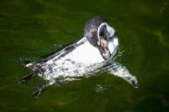 Λίγο penguin κολυμπά σε μια λίμνη Στοκ εικόνα με δικαίωμα ελεύθερης χρήσης