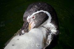 Λίγο penguin κολυμπά σε μια λίμνη Στοκ εικόνες με δικαίωμα ελεύθερης χρήσης