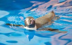 Λίγο penguin Στοκ εικόνες με δικαίωμα ελεύθερης χρήσης