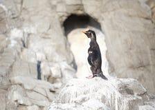 Λίγο penguin Στοκ Φωτογραφίες
