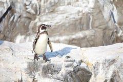Λίγο penguin Στοκ εικόνα με δικαίωμα ελεύθερης χρήσης