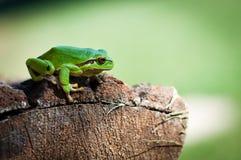 λίγο treefrog Στοκ εικόνες με δικαίωμα ελεύθερης χρήσης