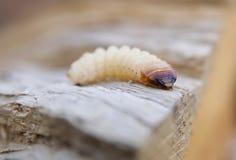 Λίγο woodworm Στοκ φωτογραφία με δικαίωμα ελεύθερης χρήσης