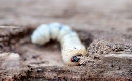 Λίγο woodworm Στοκ εικόνες με δικαίωμα ελεύθερης χρήσης