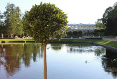 Λίμνη θερινών ηλιόλουστη κύκνων με τις αντανακλάσεις και το πράσινο στρογγυλό δέντρο στο πάρκο της Catherine, Pushkin, Αγία Πετρο Στοκ Εικόνες