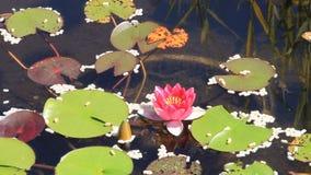 Λίμνη κήπων με τα εργοστάσια νερού και τους βατράχους απόθεμα βίντεο