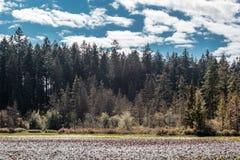 Λίμνη καστόρων στο πάρκο του Stanley, Βανκούβερ, Π.Χ., Καναδάς Στοκ εικόνες με δικαίωμα ελεύθερης χρήσης