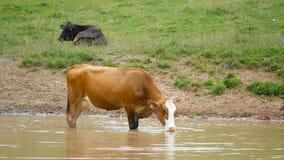Λίμνη κατανάλωσης αγελάδων απόθεμα βίντεο