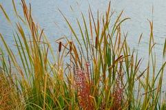 Λίμνη καταρρακτών Boise χλοών καλάμων Cattails στοκ φωτογραφίες