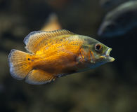 Ψάρια του Oscar. Στοκ φωτογραφία με δικαίωμα ελεύθερης χρήσης
