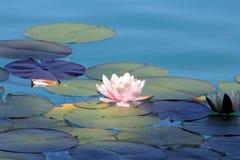 Λίμνη κρίνων νερού ως ταπετσαρία Στοκ φωτογραφία με δικαίωμα ελεύθερης χρήσης