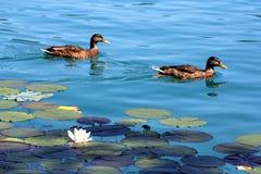 Λίμνη κρίνων νερού ως ταπετσαρία Στοκ Εικόνες